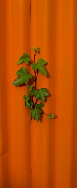 Orange & GreenIvy