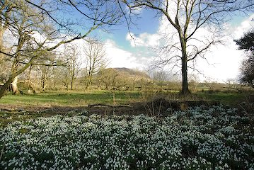 Snowdrops and Slemish 2