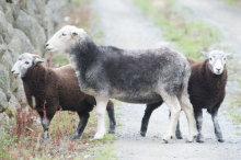 00002018 Baa Baa Black Sheep
