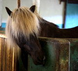 Black Horse With Blond Hair
