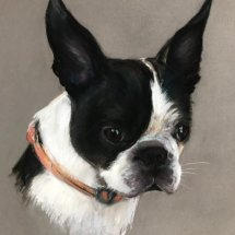 Bam the Boston Terrier