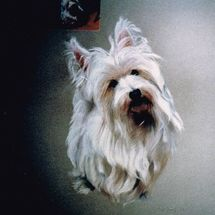 Malcolm - white terrier
