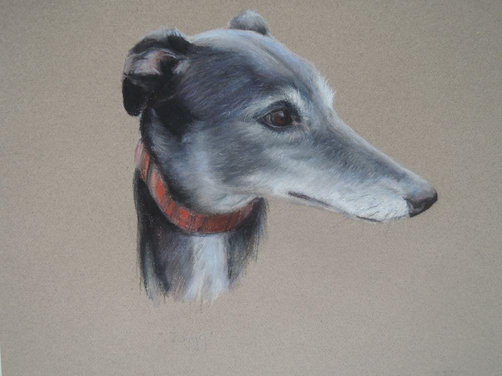 Greyhound - Ziggy
