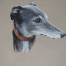 Greyhound - Ziggy