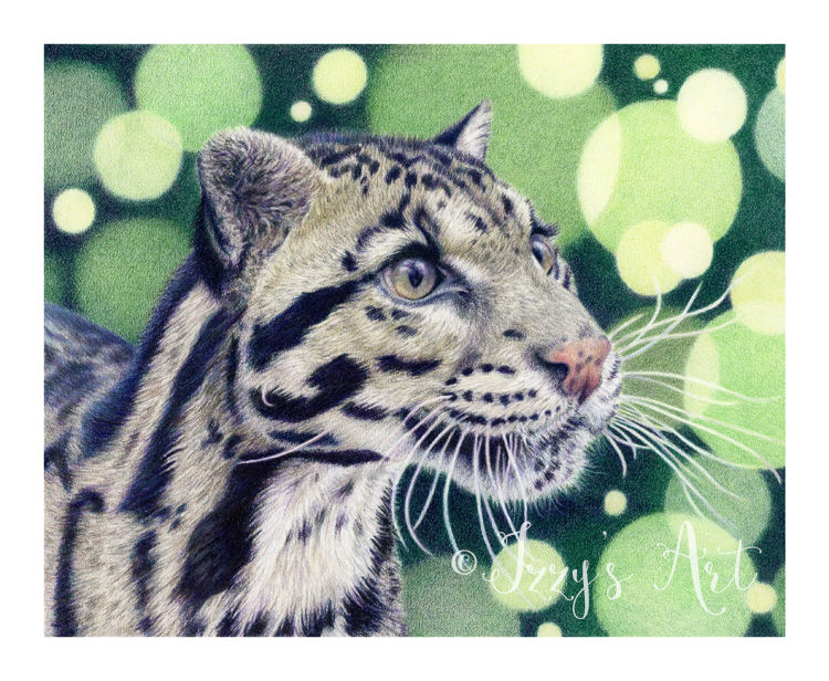 clouded leopard in coloured pencils by Isobel Buckley