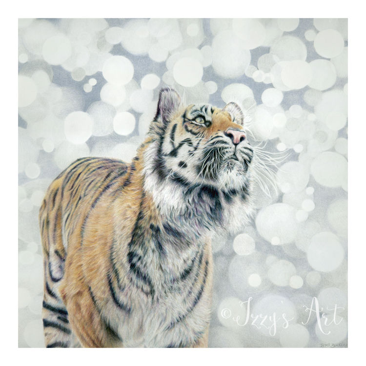 Tiger in coloured pencils by Isobel Buckley