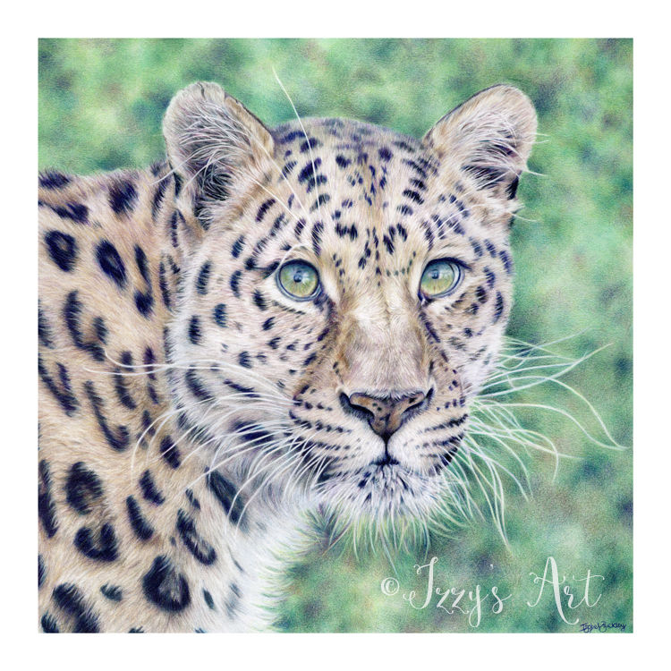 Amur Leopard in coloured pencils by Isobel Buckley