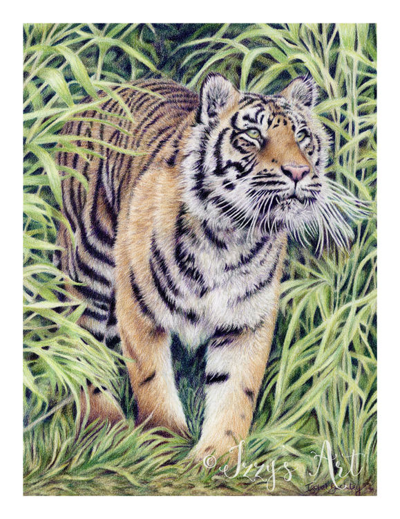 Tiger walking out of the bushes completed in coloured pencils by Isobel Buckley