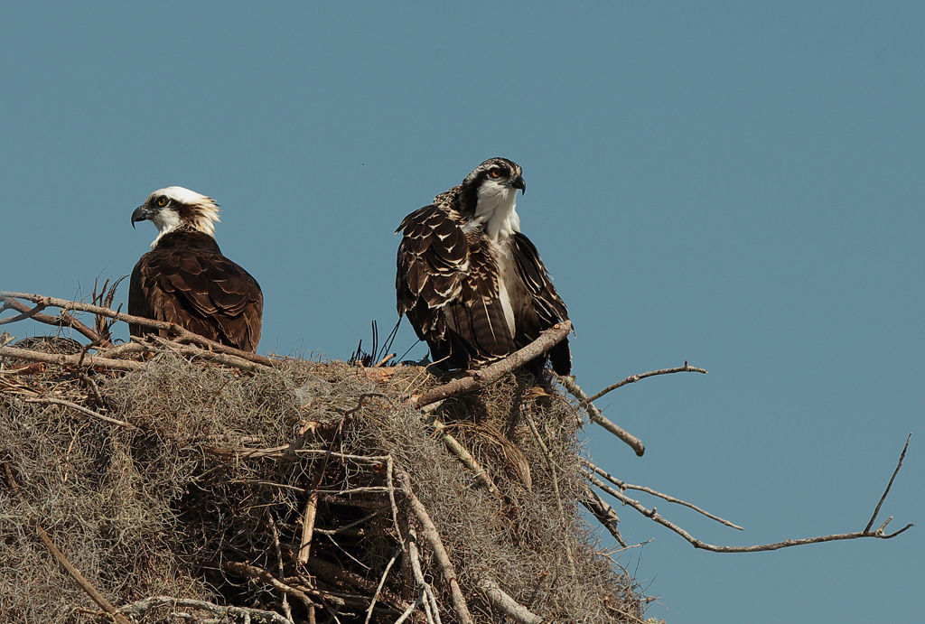 Osprey at nest with Juvenile