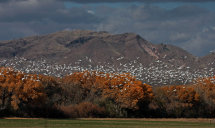 Snow Geese over Cottonwood Trees