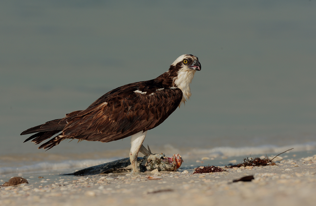 Osprey with Kill