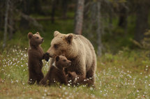 Bear and cubs (Finland)