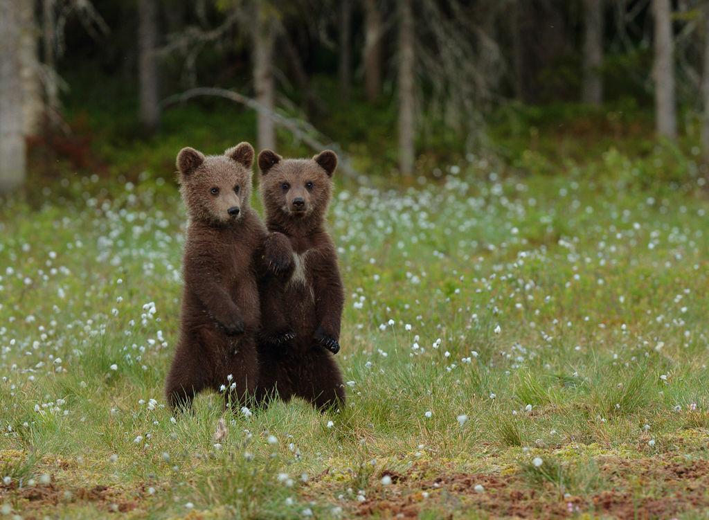 Bear cubs (Finland)
