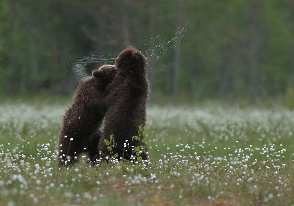Sparring Juvenile Bears (Finland)