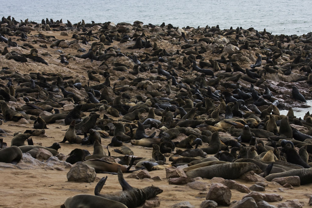Cape Fur Seals