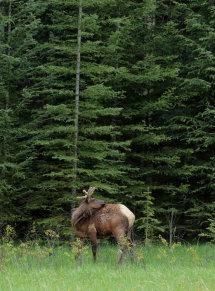 Elk (Canada)