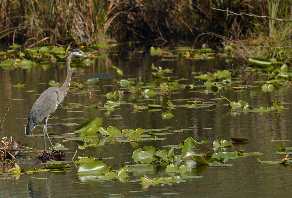 Great Blue Heron (Everglades)
