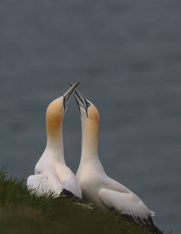 Gannets Mating
