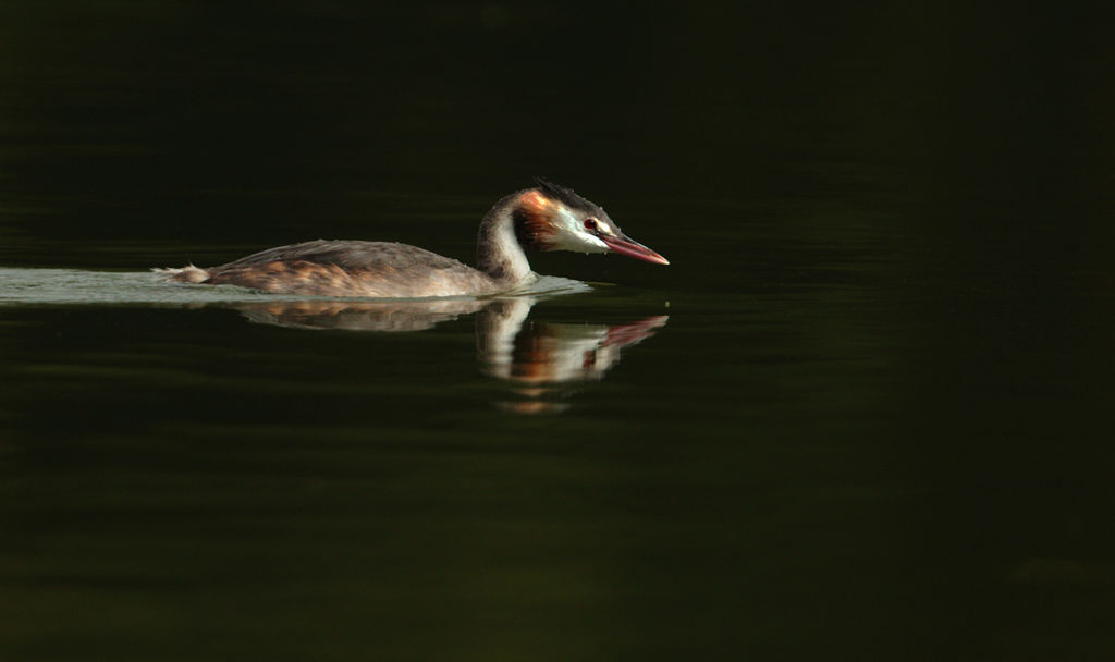 Great Crested Grebe (Winter)