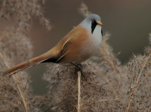 Bearded Tit (or Reedling)