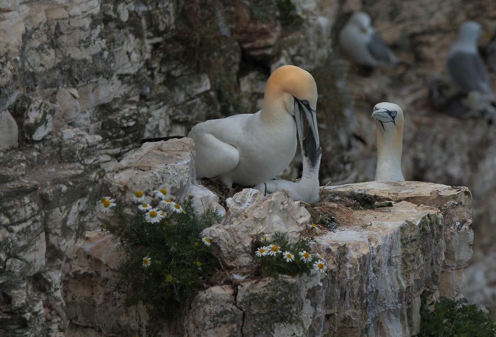 Gannet Feeding Young