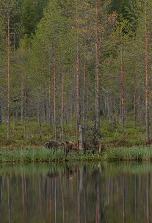 Brown Bear (Finland)