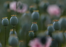 Cultivated Poppy Seed Heads