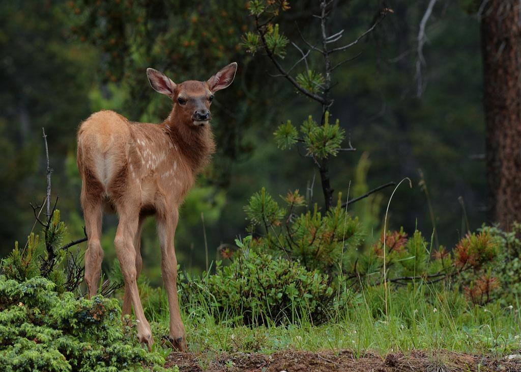 Young Elk (Canada)