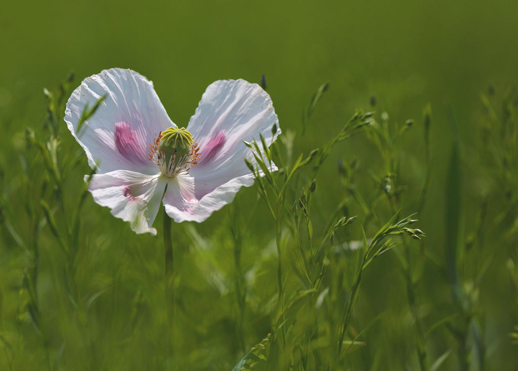 Cultivated Poppy Head