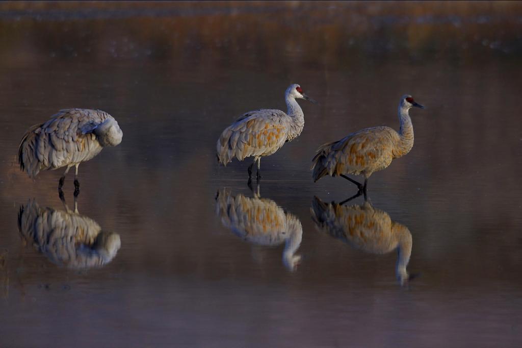 Sandhill Cranes Preening