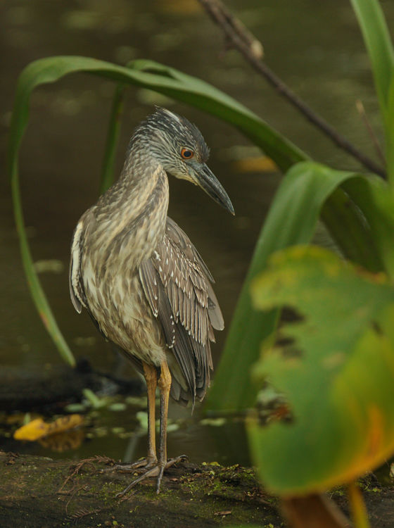 immature heron (unknown)