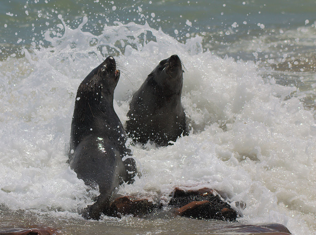 Seals in Surf