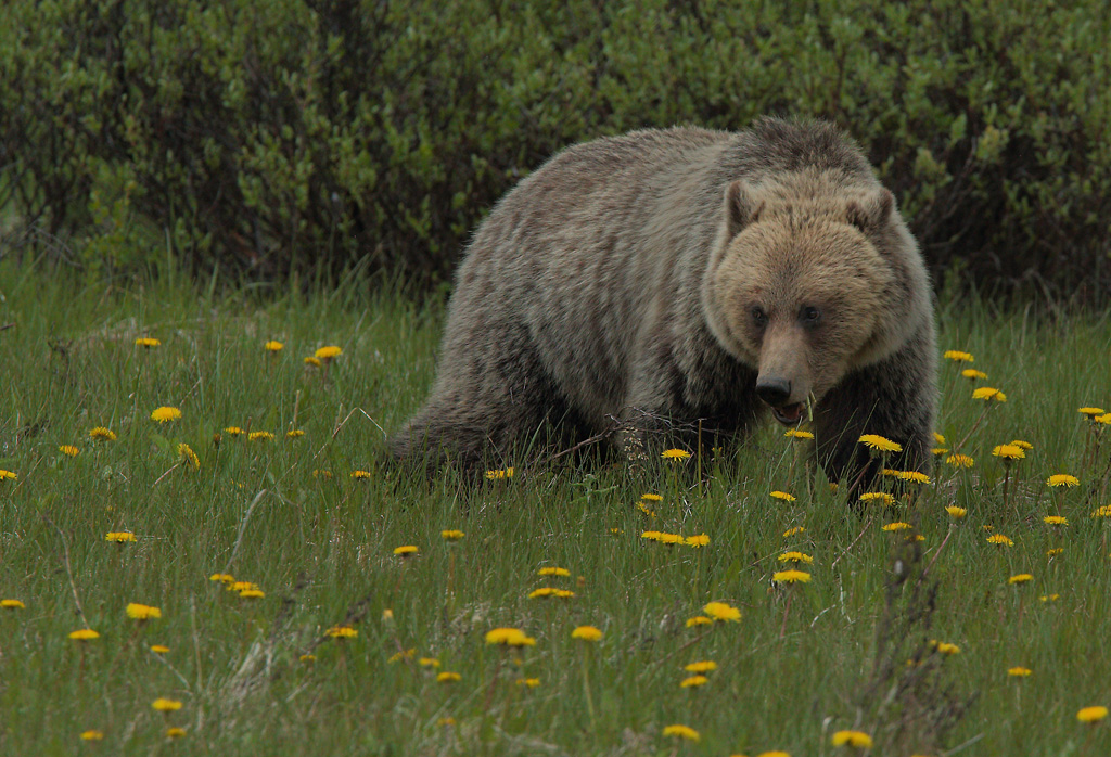 Grizzly Bear (Canada)