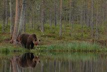 Brown Bear (Finland)