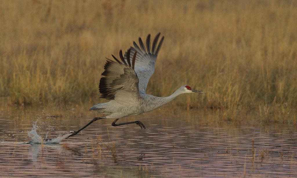 Sandhill Crane Take Off