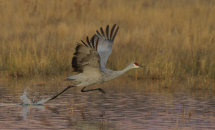 Sandhill Crane Take Off