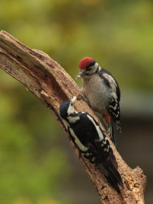 Woodpecker Feeding Young (young above)