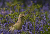 Hen Pheasant in Bluebells