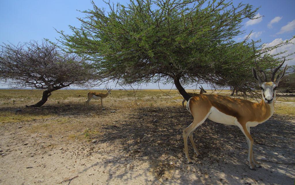 Springbok finding shade