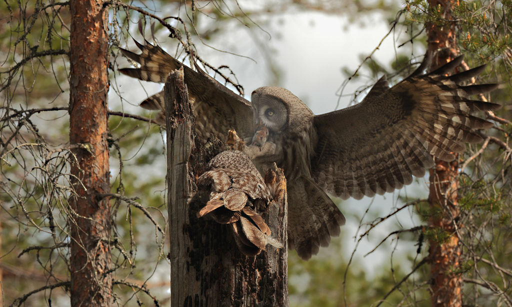 Great Grey Owl at Nest (Finland)