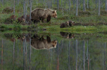 Bear with cubs (Finland)