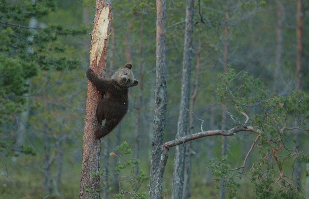 Climbing cub (Finland)