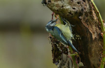 Blue Tit (wet)