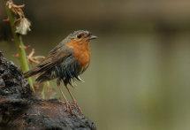 Robin (wet)