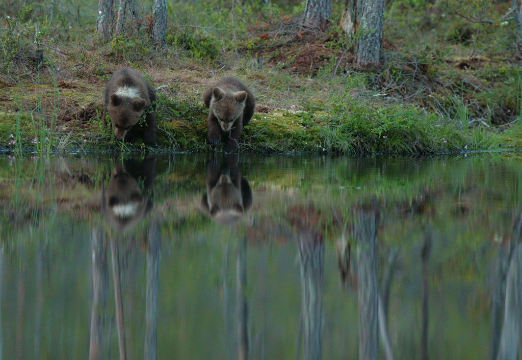 Drinking cubs (Finland)