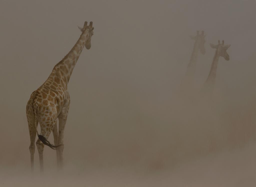 Giraffes in dust storm