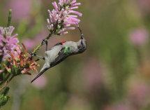 Double Breasted Sunbird (juvenile)