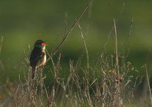 Sedge Warbler at dawn