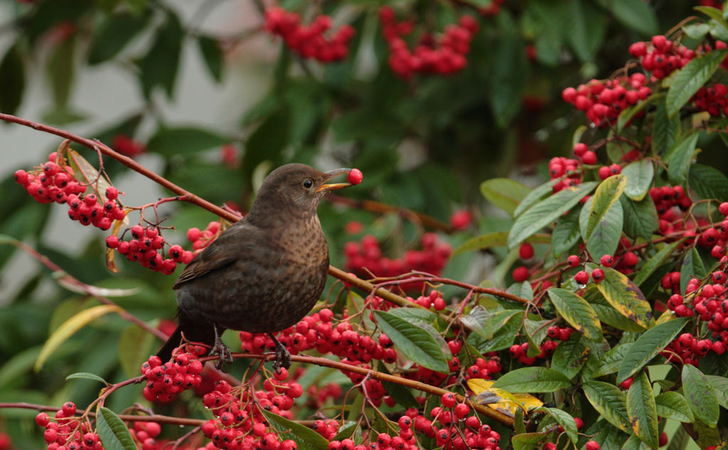 Blackbird (female, winter)