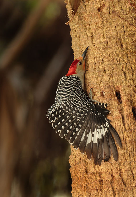Rosey Breasted Woodpecker (Florida)